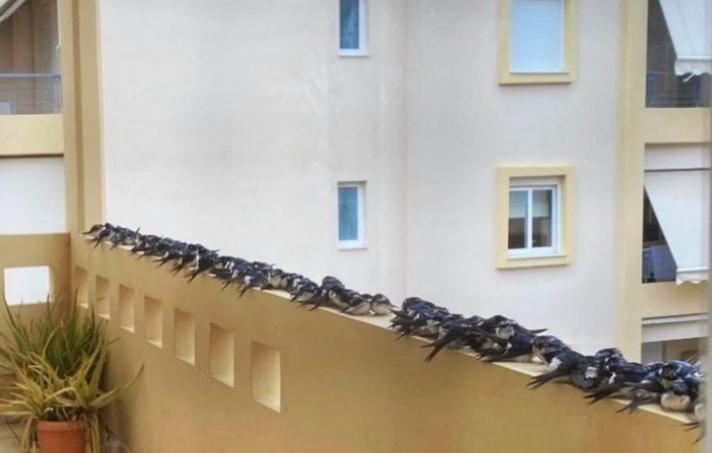Εξαντλημένα χελιδόνια κατέκλυσαν μπαλκόνια και δρόμους. Οι σφοδροί άνεμοι σταμάτησαν το μεγάλο ταξίδι τους. Τι οδηγίες δίνουν οι ορνιθολόγοι (φωτογραφίες)...