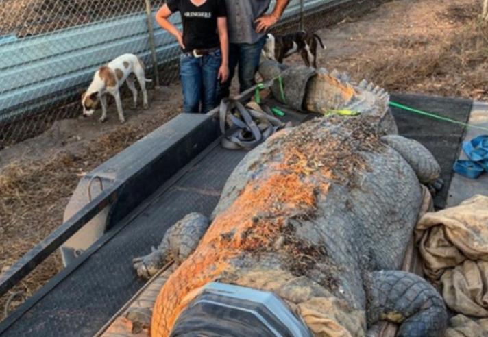 «Κροκοδειλάκιας» στην Αυστραλία έπιασε τεράστιο κροκόδειλο μήκους 5,1 μέτρων. Είχε ρημάξει τις αγελάδες της περιοχής (βίντεο)...