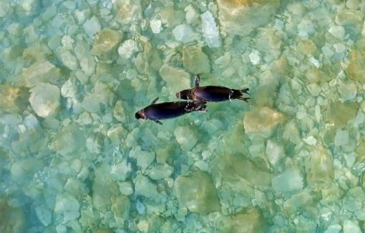 Επέστρεψαν στα νερά των Κυκλάδων οι φώκιες Λένα και Νικόλ (φωτογραφίες)