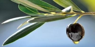 Η ελιά, το φρούτο του ελαιόδεντρου